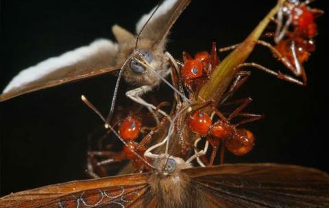 Бабочка шашечница предательски обирает муравьёв