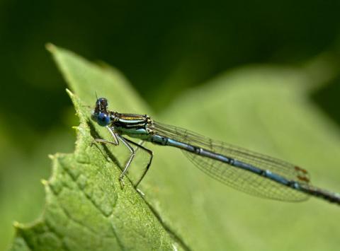 Самки стрекоз придумали, как спастись от назойливого самца