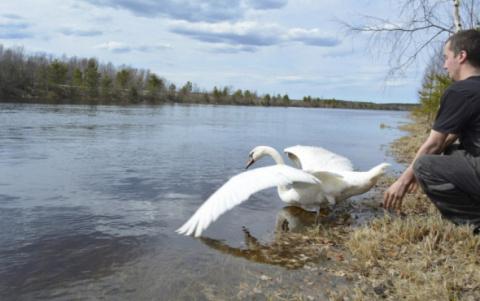 Жители Карелии отпустили на свободу спасенного зимой лебедя