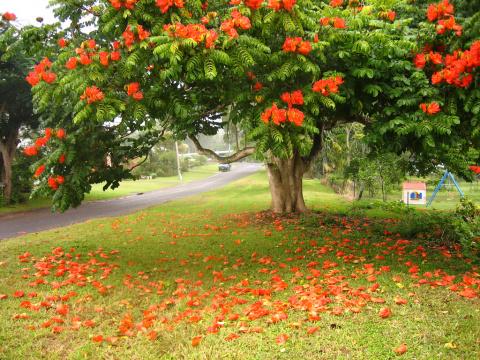 Тюльпанное дерево. Чудо из чудес!