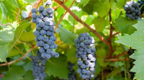 Ранние сорта винограда для с…