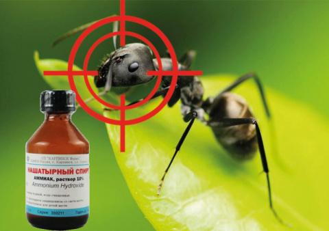 Нашатырный спирт в три шеи выгнал муравьев из теплицы