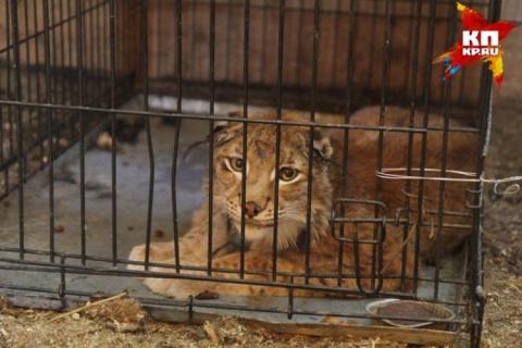 В Иркутске спасают рысь, над которой издевались хозяева
