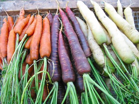 Разноцветная морковь - поделюсь опытом выращивания