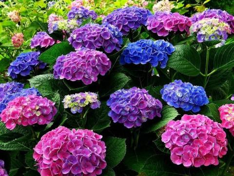 Как подготовить гортензию к зиме и обеспечить пышное цветение летом