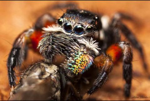 Самый красивый паук обитает в Австралии