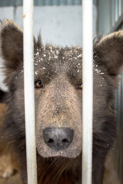 Челябинск влюбился в медвебаку