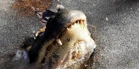 Как аллигаторы переживают морозы