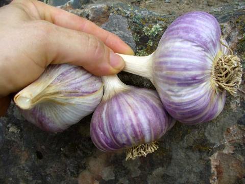 Опыт выращивания чеснока в саду