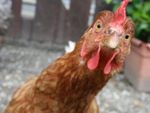 Забавная история про Курицу
