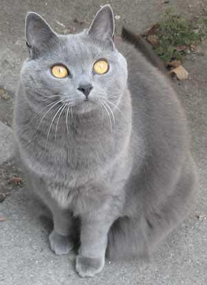 КОШКИН ДОМ. Порода кошек Шартрез (Картезианская, Chartreux)