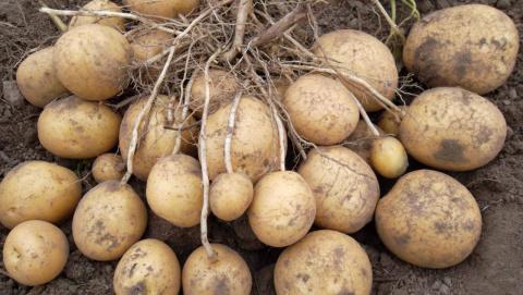 Самые урожайные сорта картофеля
