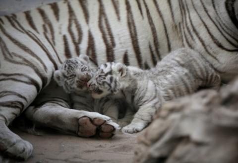 В мексиканском зоопарке родились белые тигрята