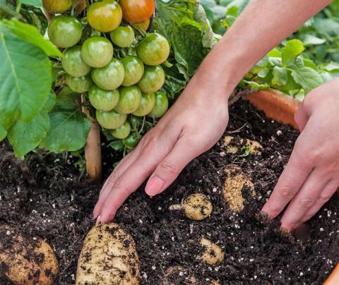 Огурец – на тыкву, помидор – на баклажан, или зачем делать прививки на овощах?