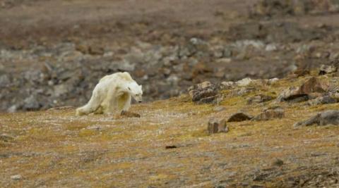 «Так выглядит глобальное потепление». Белый медведь сдаётся перед лицом голодной смерти
