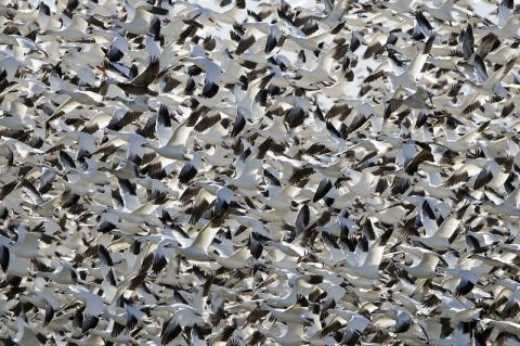 Почему птицы не сталкиваются в полёте?