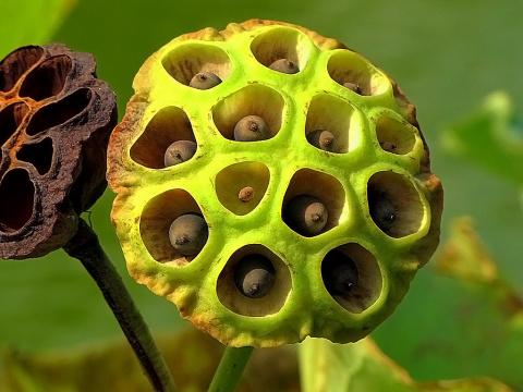 """Семена-""""орешки""""  водяного лотоса"""
