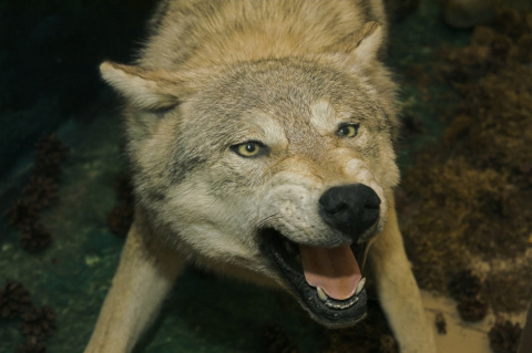 В поселки Карелии, где зафиксированы встречи с волками, направляются лучшие охотники-волчатники