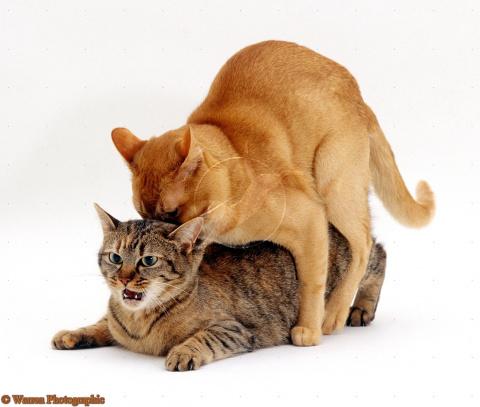 Почему кастрированный кот пы…