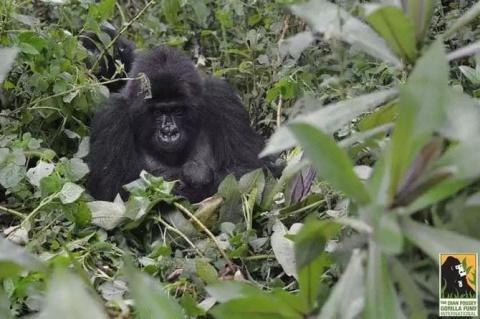 Им навстречу вышла горилла. …