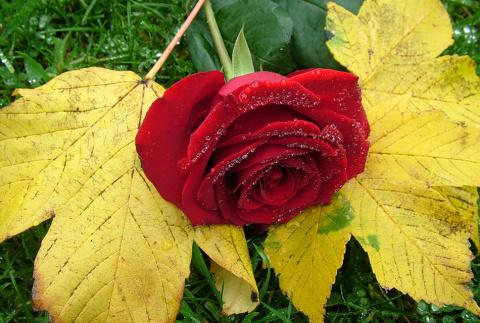 Розы — операция осень. Уход за розами осенью