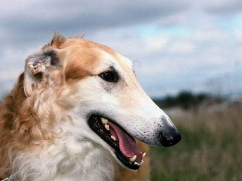 Русские породы собак