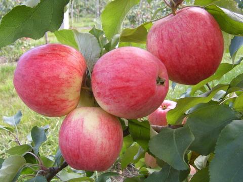 Зимостойкие сорта яблонь, груши и черешен. Как сажать чеснок, чтобы он не сгнил