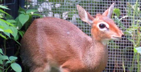 В Московском зоопарке теперь можно увидеть крошечных антилоп дикдик
