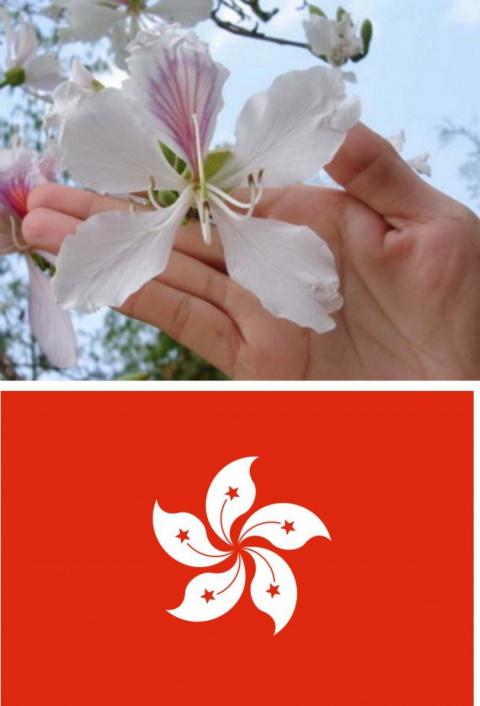 Цветок - символ Гонконга