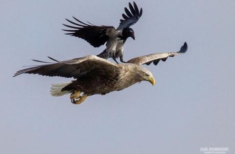 Уникальный кадр: астраханец заснял, как ворон прокатился на спине орлана