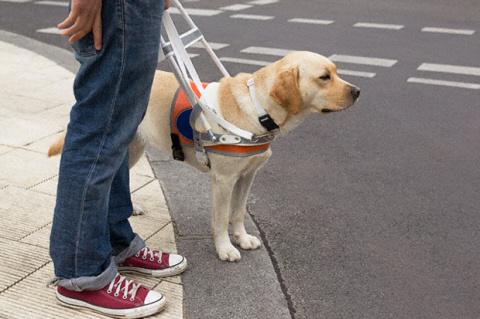 У меня есть слепая подруга, ходит с лабрадором-поводырем. Ходила, точнее...