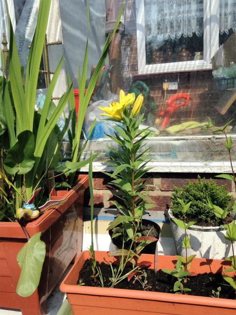 Наш сад. Первая лилия и другое..