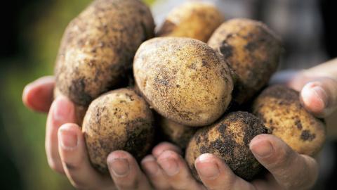 Картофель: 7 шагов к урожаю