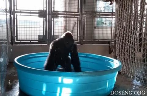 Горилла резвится в бассейне