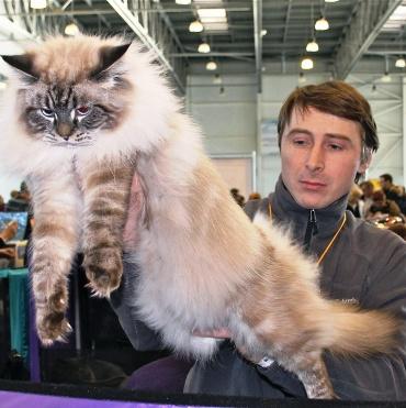 Наша порода --- невская маскарадная кошка. Настоящий сибиряк и русский богатырь!