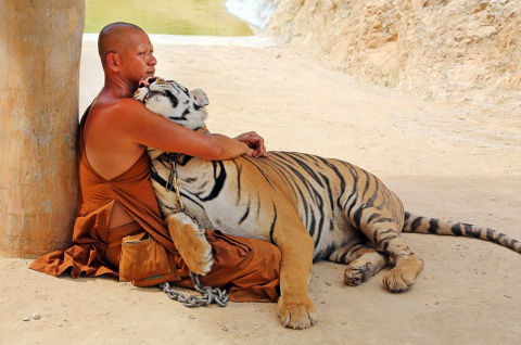В Таиланде из «Тигрового храма» зоозащитники вывезли трех хищников
