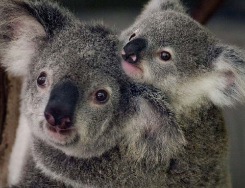 Первая прогулка малыша коалы