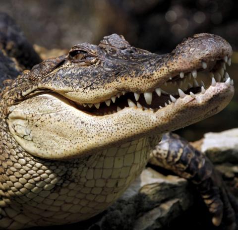 Крокодил сожрал имущество ав…