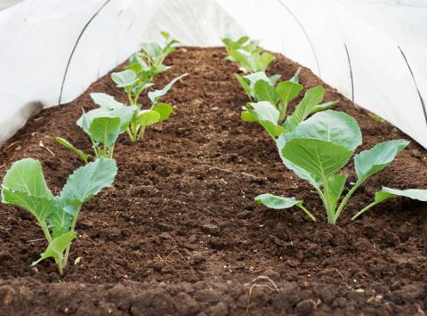 Нужна ли подкормка рассаде капусты?