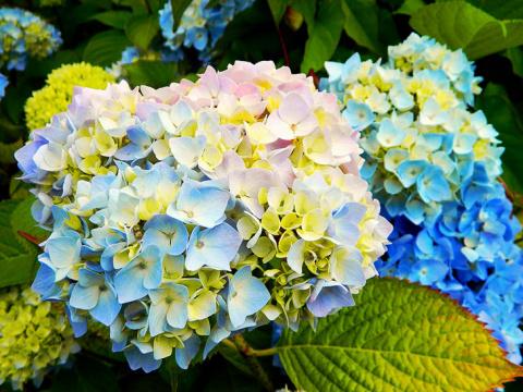 Гортензия: природная роскошь для сада и дома