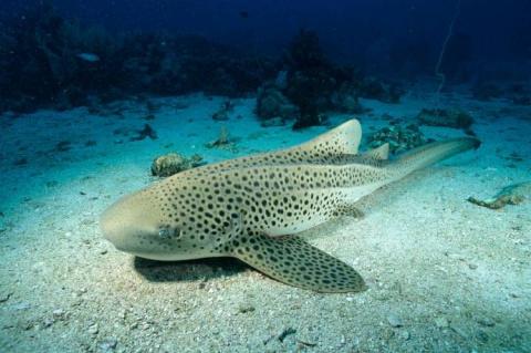 """В австралийском аквариуме акула-зебра родила детенышей после """"непорочного зачатия"""""""