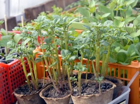 Выращивание рассады картофеля особым способом