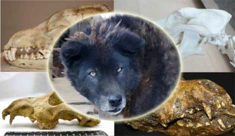 Ученые выяснили, что все собаки происходят от одного общего предка (одомашнивание человеком животных)