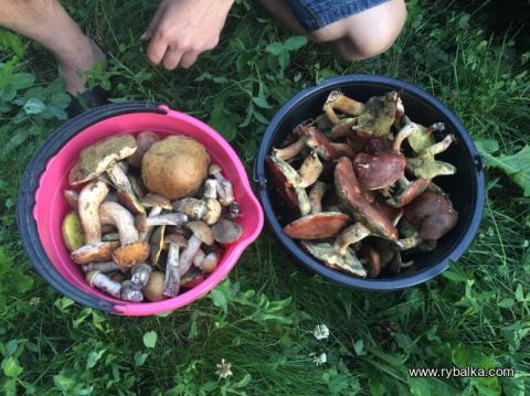 Собираем грибы в лесу - ищем белые - третий выезд за грибами, июль 2017