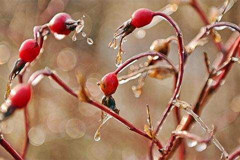 Как защитить растения от морозов в бесснежную зиму