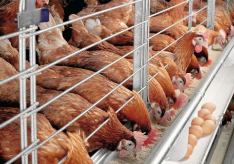 СМИ: Tyson Foods отправит кур в газовые камеры
