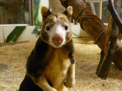 Удивительные древесные кенгуру
