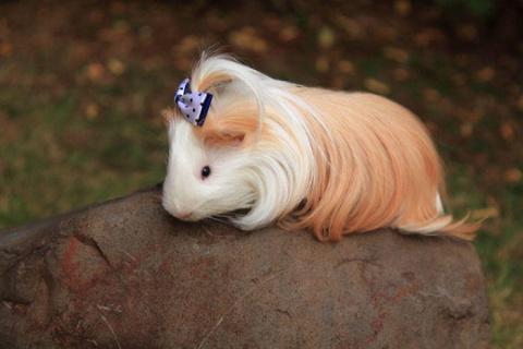Морские свинки, чьим локонам завидуют даже модницы