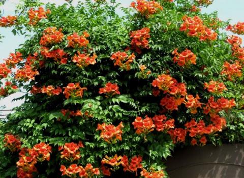 Кампсис уход, выращивание, цветение