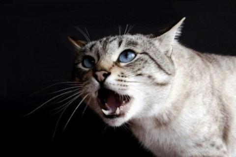 Подсудимая кошка...